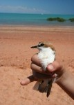 red capped plover